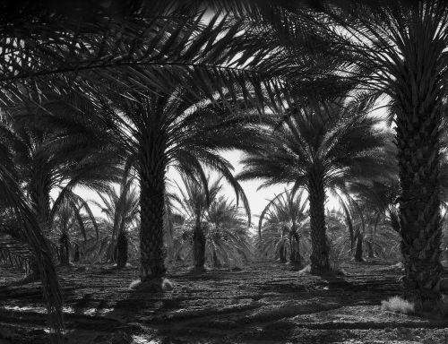 coachella slėnis,Kalifornija,1940-tieji metai,dienos palmės,palmės,kraštovaizdis,lauke,gamta,Šalis,kaimas,juoda ir balta
