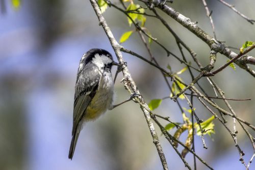 coal tit bird