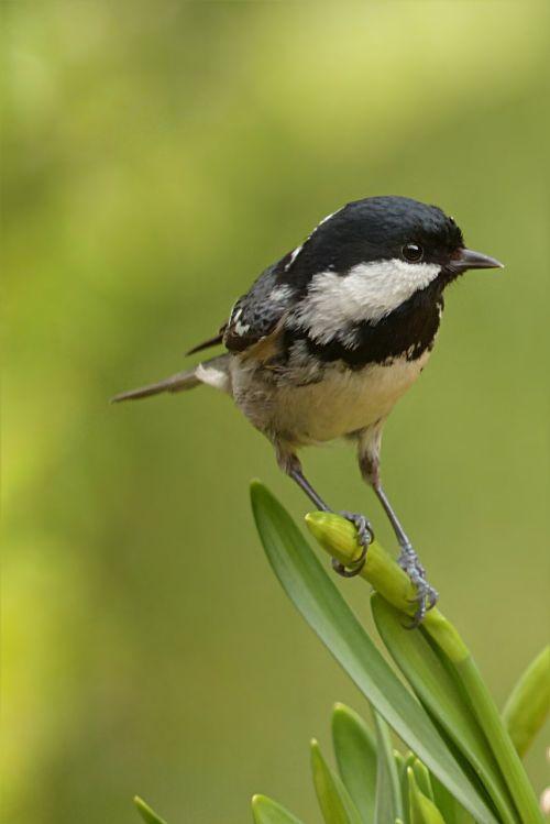 coal tit periparus ater bird
