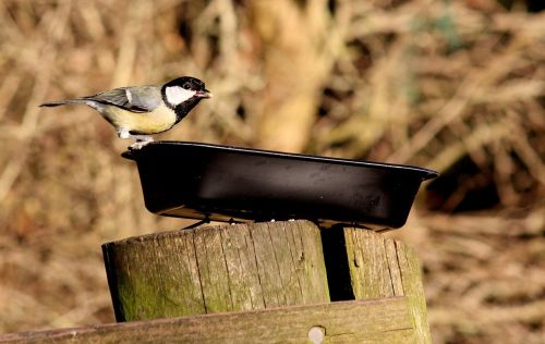 coal tit bird nature