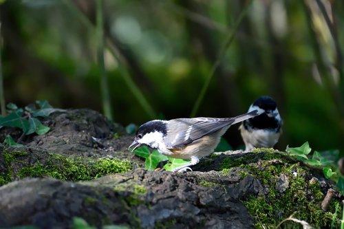 coal tit  garden bird  bird