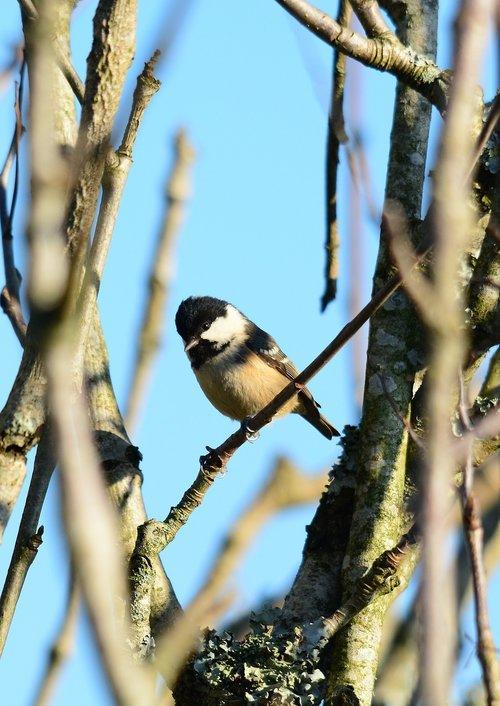 coal tit  bird  nature