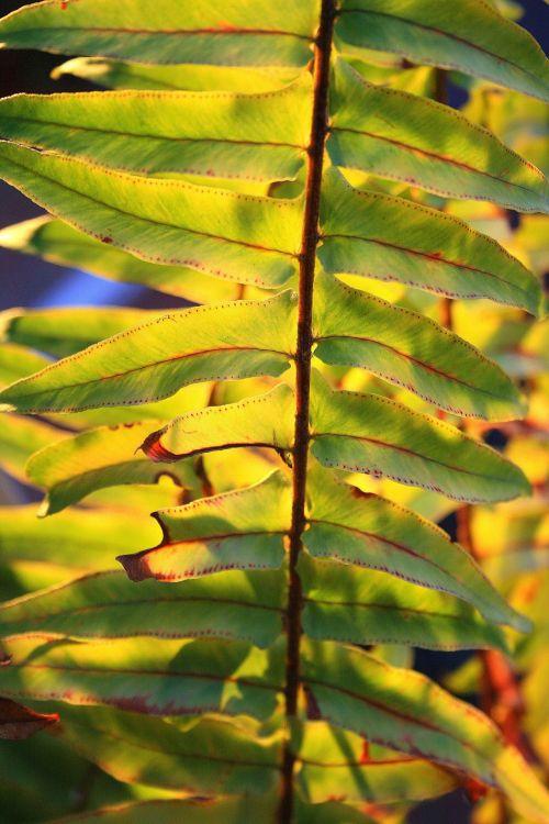 Coarse Fern Leaf