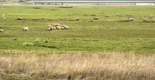 coast  sheep  floodplain