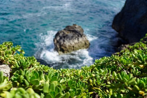 coastal vegetation succulent