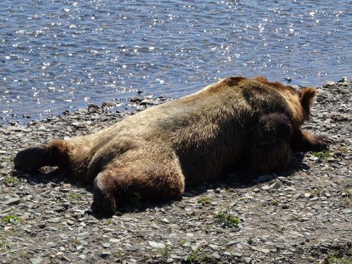 coastal brown bear alaska bear