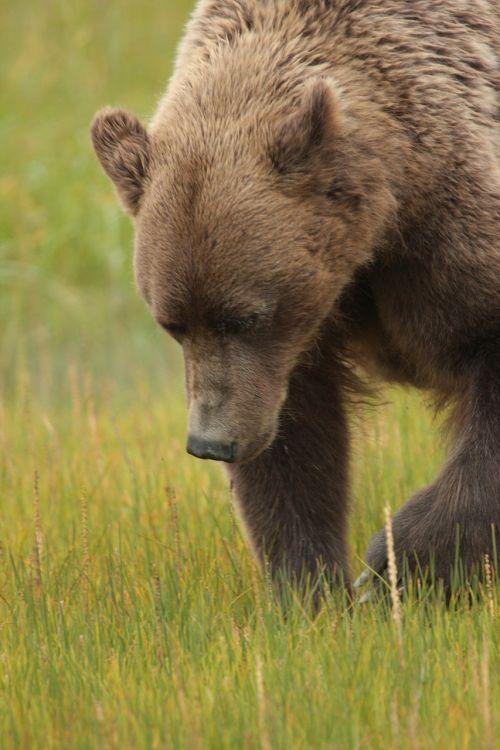 coastal brown bear wildlife nature