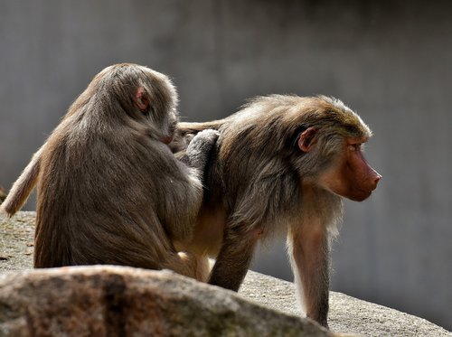 coat baboons  ape  primates