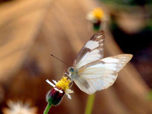 paltai,meksikietiška daisy,drugelis,balta,ruda,gėlė,gamta,vasara,gėlių,gyvūnas,geltona,sparnas,skristi,sodas,natūralus,žolė,svirnas,žolė,sodininkystė