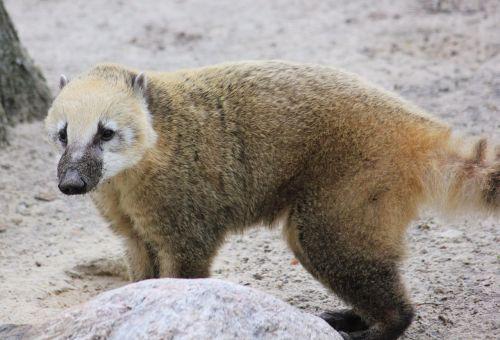 coati zoo predator
