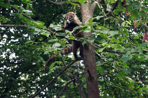 coati small bear climb