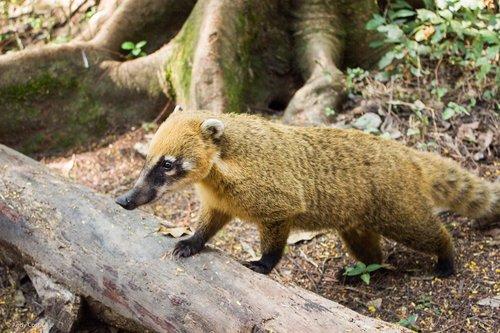 coati  ecological park of tietê  são paulo