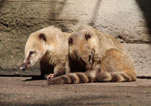 coati proboscis bear nasua