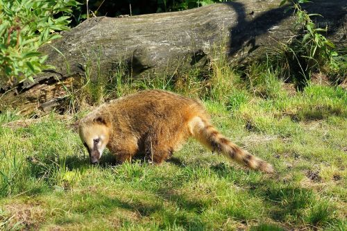 coati furry curly tail