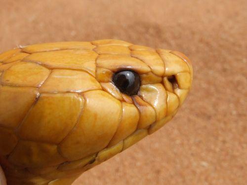 cobra head snake