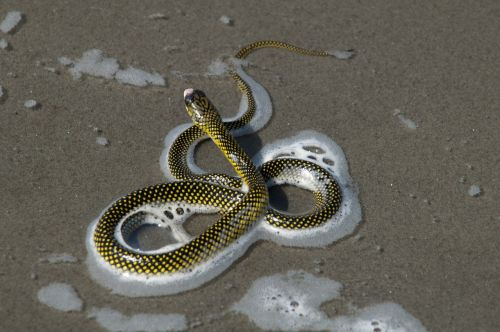 samar cobra cobra beach