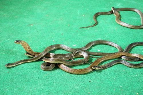 cobras snakes tourist animation