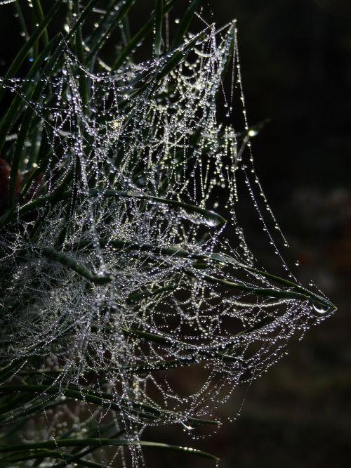 cobweb spider webs dew