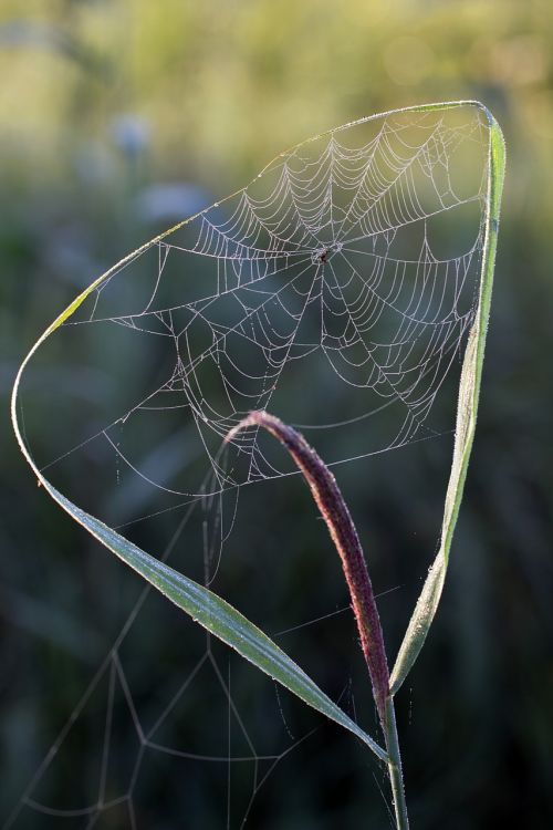 cobweb morning sun reed