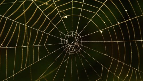 cobweb spider network