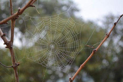 cobweb spider web