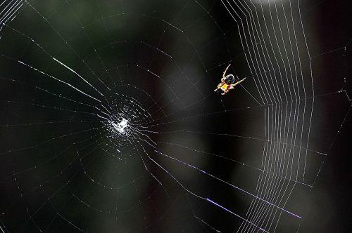 cobweb spider araneus