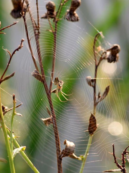 cobweb grass spider