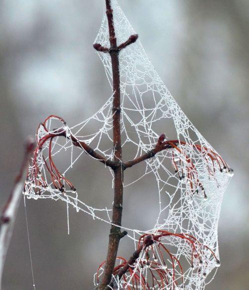 cobweb frost cold
