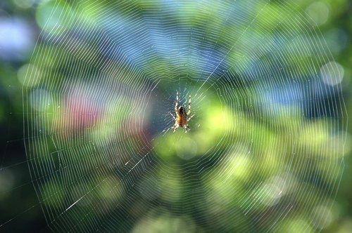 cobweb  spider  insect
