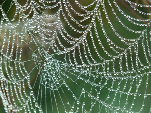 cobweb morgentau dew