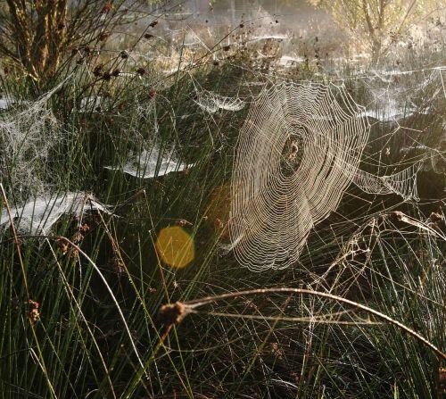voratinklis,Morgentau,saulėtekis,arachnid,nugara