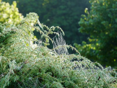 cobweb juniper morning