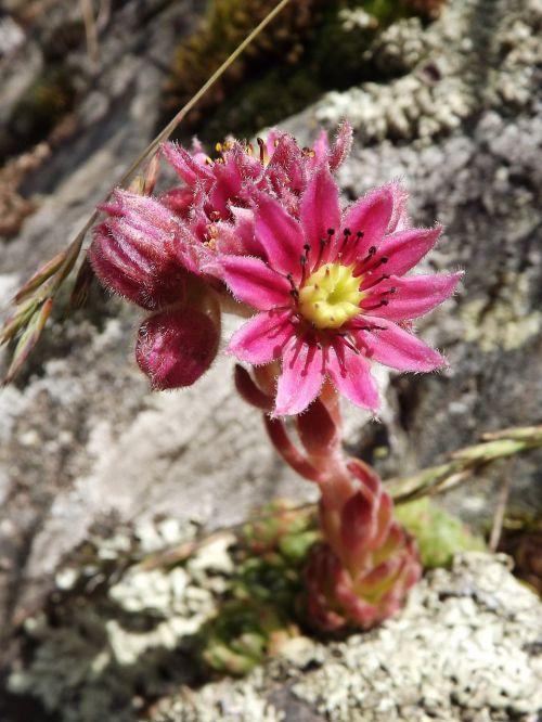 cobweb houseleek herb sempervivum arachnoideum