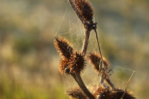 cobwebs dried flower nature
