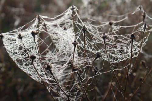 cobwebs plfanze meadow