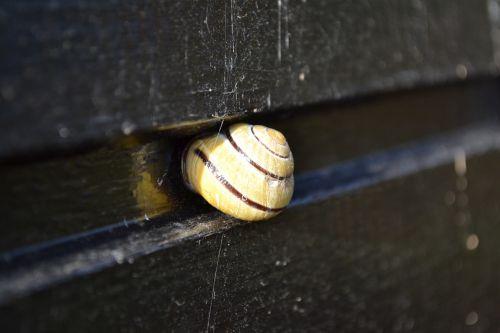 cochlea shell snail