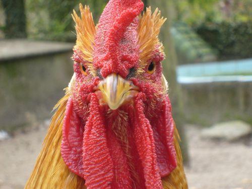 cock chicken animal