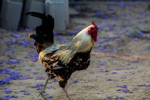 cock  hen house  farm