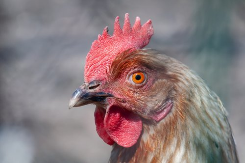 cock  the head of the  poultry