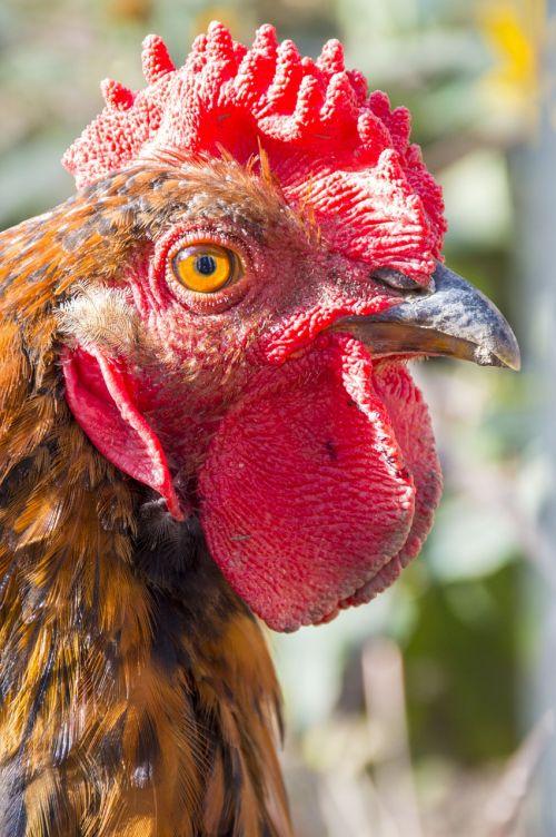 cock crest eyes