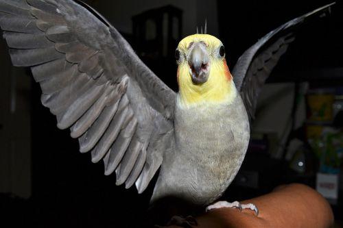 cockatiel angry bird birds