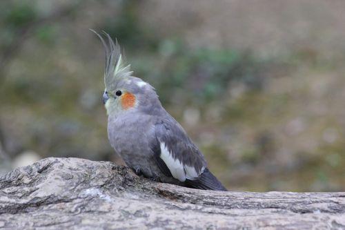cockatiel bird nature
