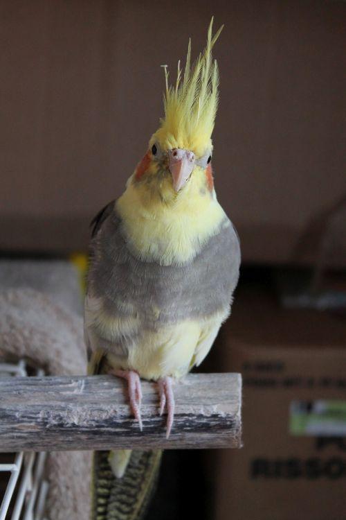 cockatiel perch bird