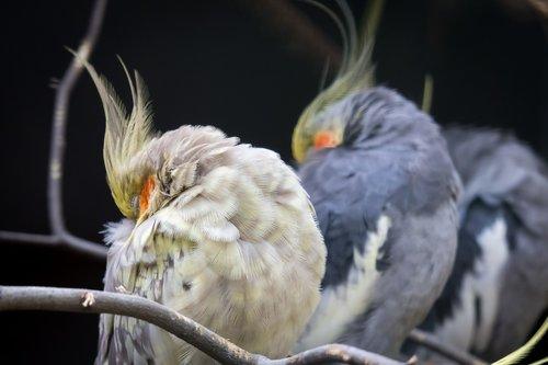 cockatiel  parakeet  bird