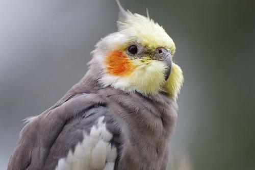cockatiel  parakeet  pet