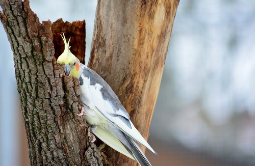 cockatiel  nature  parakeet
