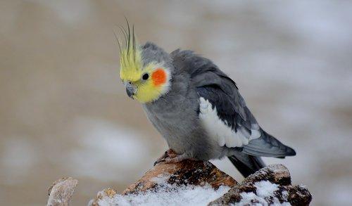 cockatiel  bird  snow