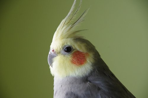 cockatiel  bird  yellow