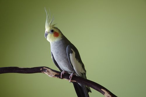 cockatiel  bird  crest