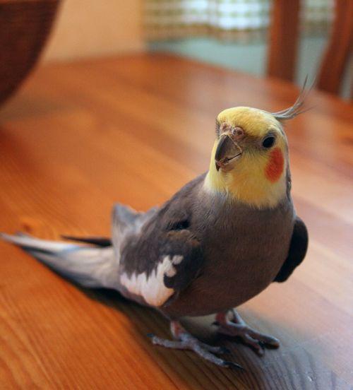 cockatiel bird domestic birds